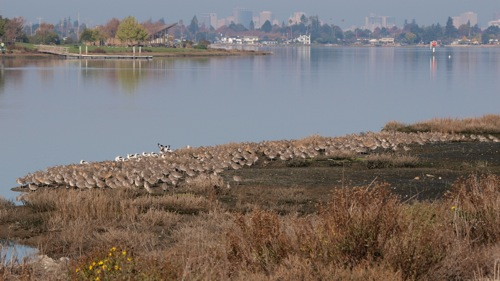 A Quiet Nation of Shorebirds – San Francisco Bay Area