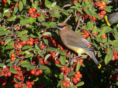 Cedar Waxwing in pyracantha tree