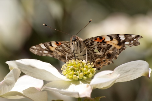Painted Lady Butterfly - © Ingrid Taylar