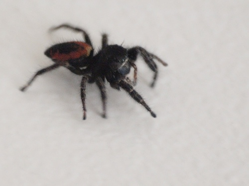 Blur of a Red-Backed Jumping Spider