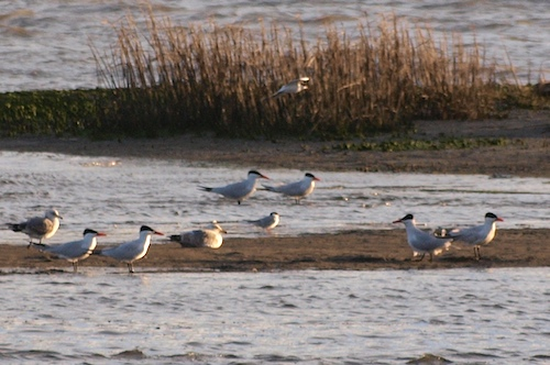 More Alameda Terns: Caspian, Forster's, Least Terns