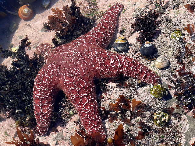 Sea Star at Fitzgerald Marine Reserve