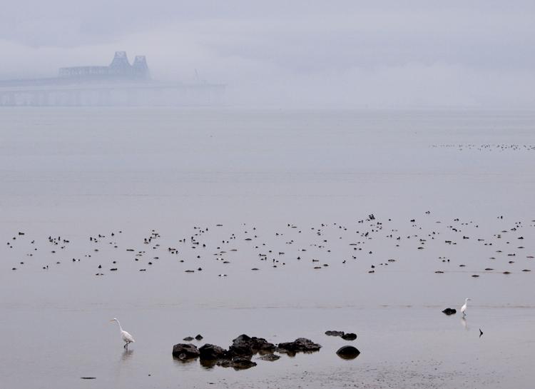 Egrets and San Francisco Bay Bridge