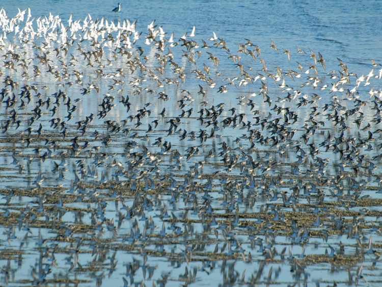 Shorebirds in Flight on San Francisco Bay