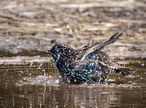 Starling bathing in puddle