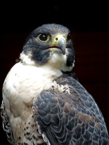Peregrine Falcon in San Francisco