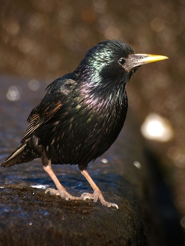 Iridescent Plumage on Starling