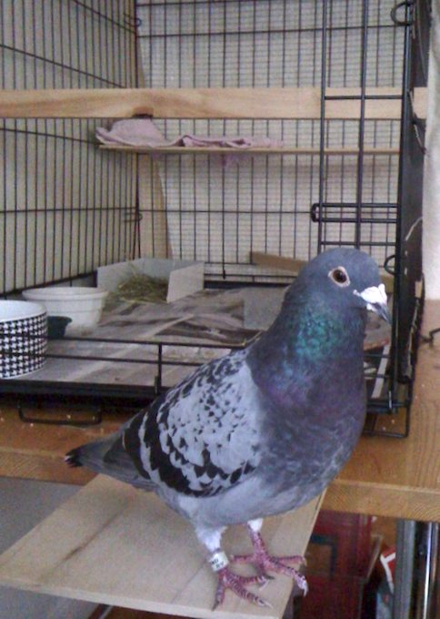 Chauncey the Racing Pigeon - ©ingridtaylar