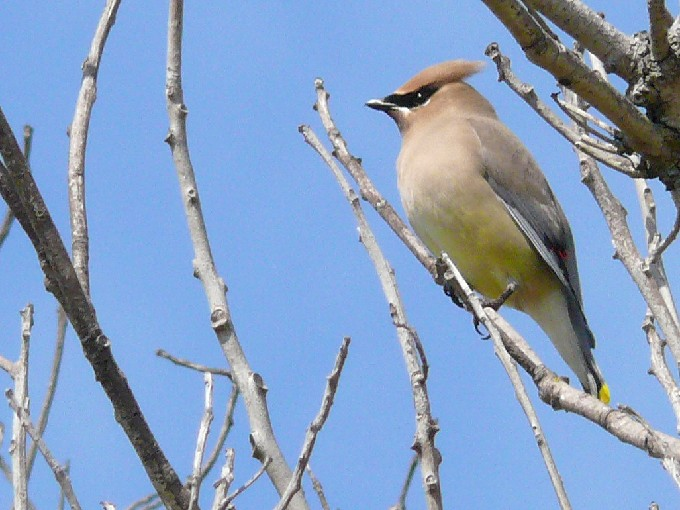 Cedar Waxwing in Berkeley