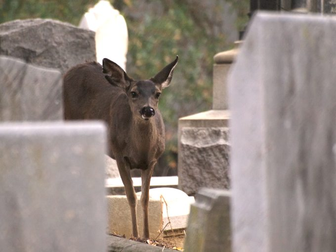Deer in the Tombstones