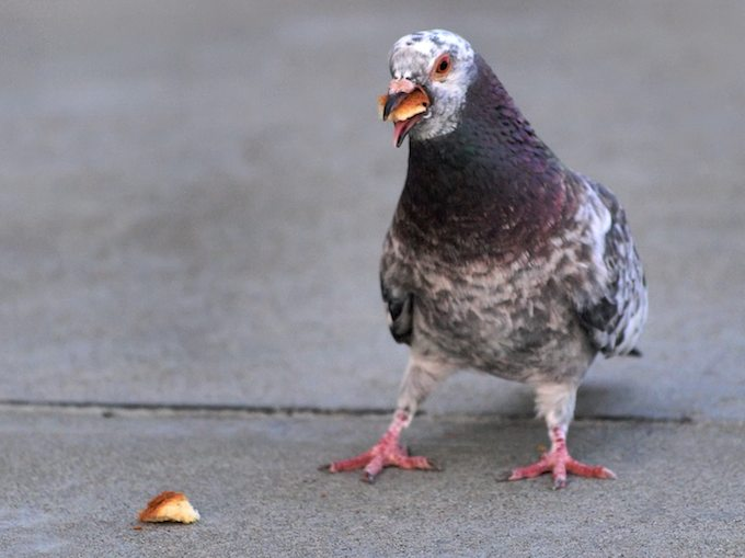 Pigeon Masters of Culinary Adaptation