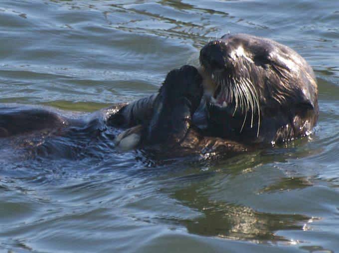 Sir Sea Otter