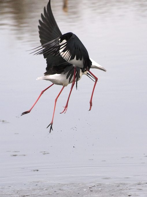 Moving - Black-Necked Stilts - ©ingridtaylar