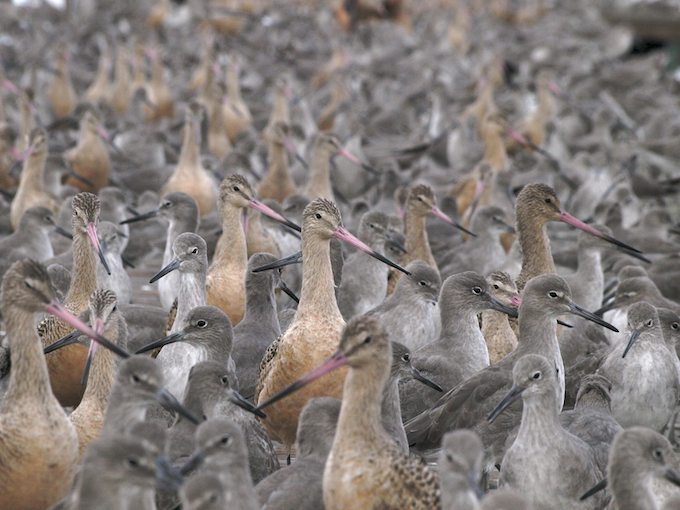 Much - Mixed Shorebird Flock - ©ingridtaylar