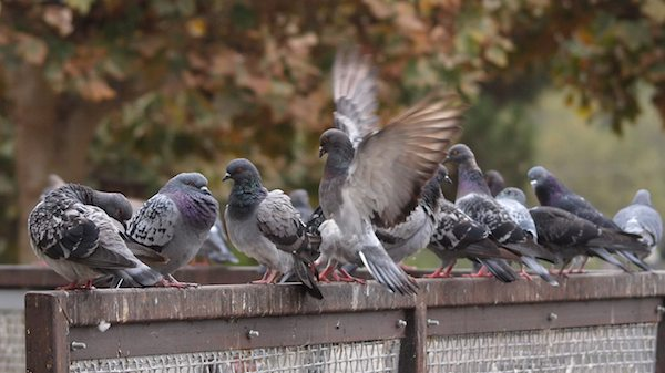 Pigeon Flock at Lake Merritt