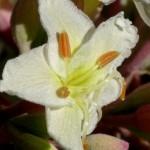 California Buckeye Tree Flower