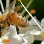 Honey Bee in Buckeye Tree