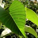 California Buckeye Leaves