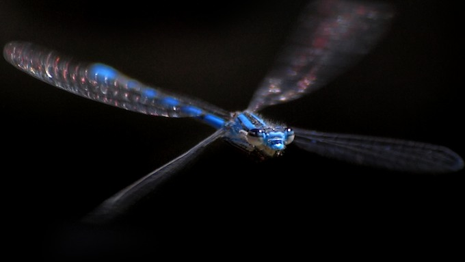 Blue Damselfly in Flight