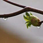 California Buckeye Bud and Raindrop