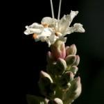 California Buckeye Bloom