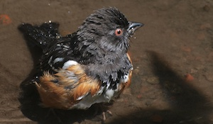 Of Towhees, Tripods and Trust
