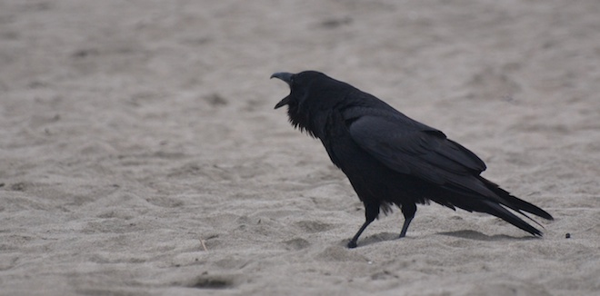 The Ravens of Ocean Beach