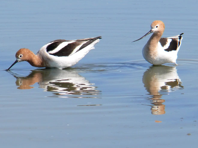 Parenting, Avocet Style