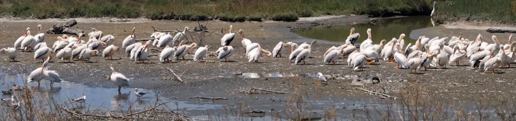 Pelicanorama
