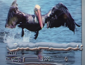 Miss Them Already: California Pelicans