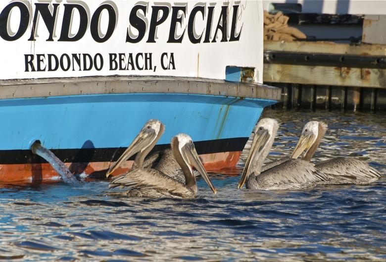 Redondo Pelicans