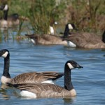 Canada Geese Flock