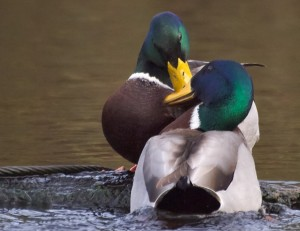 Mallard Drakes fighting