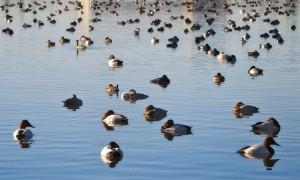 Mixed Raft of Ducks