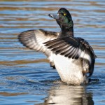 Scaup flapping wings