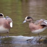 American wigeons stretching