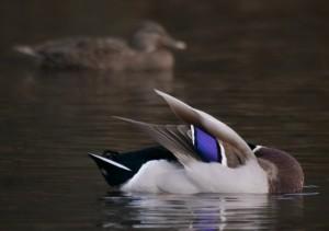 Mallard drake blue wing patch