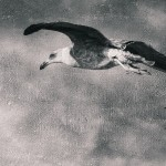 Gull Flying Black and White