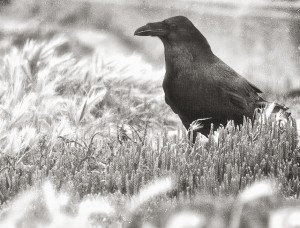 Raven in Black and White