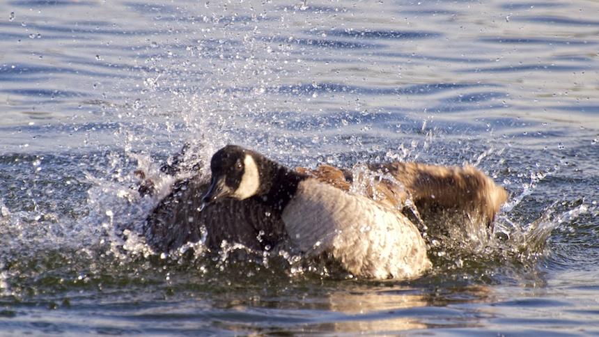 Goose + Water