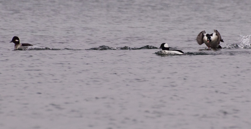 Dating, Bufflehead Style