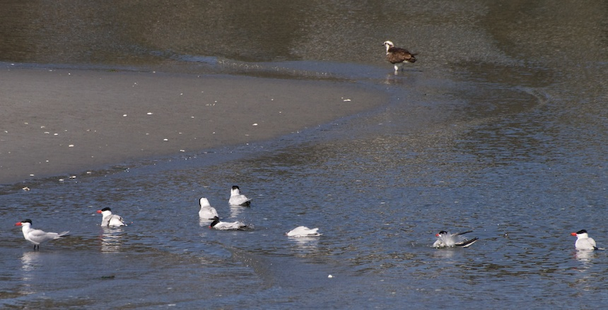 Caspian Terns and Osprey in Seattle