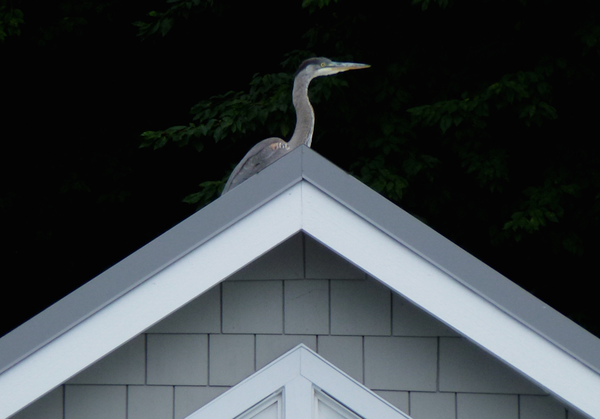 """If a Heron Had Written """"Your Song"""" …"""