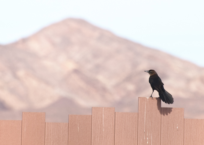 Great-tailed Grackle at Henderson