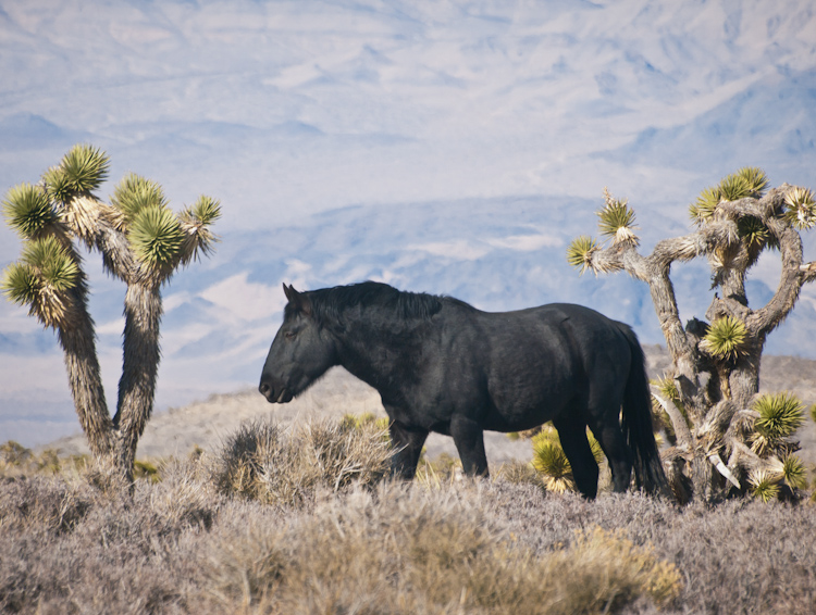 Black wild horse in Nevada