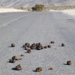 Wild Horse Manure on Road in Nevada