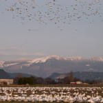 snowgeese6801