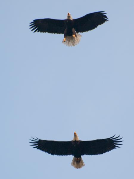 Utility Pole Eagles