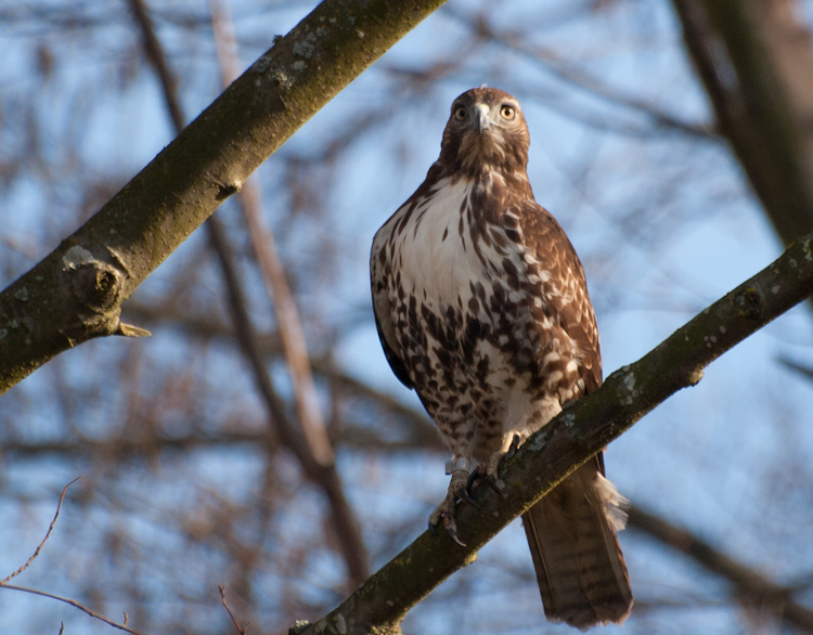 Red-tailed Hawk at Union Bay Natural Area