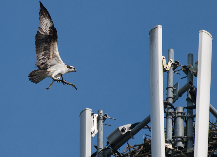 Showdown at the Osprey Cell Tower